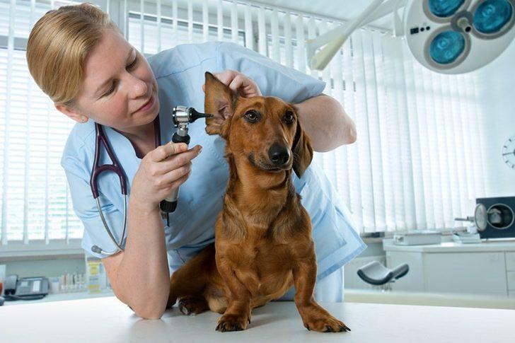 Oorontsteking En Oorpijn Bij Hond