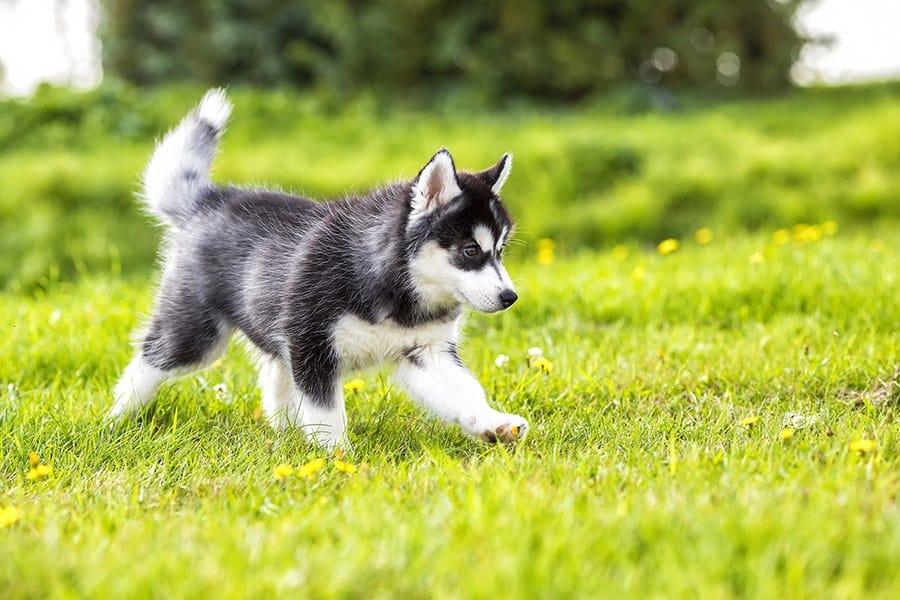 siberische husky puppy opvoeding