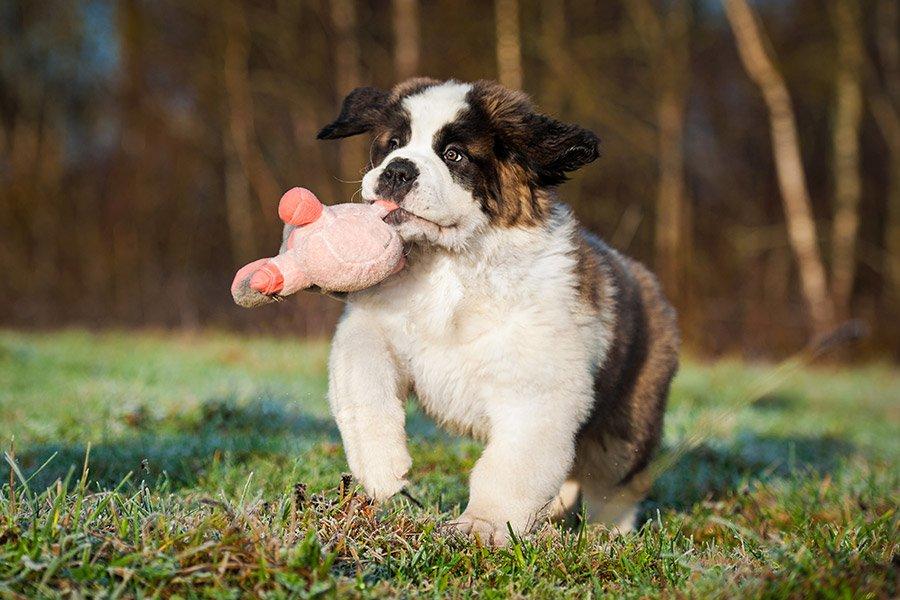 sint-bernard pup