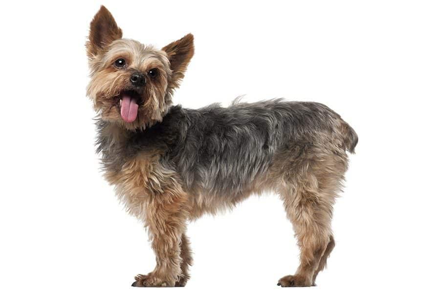 yorkshire terrier uiterlijke kenmerken