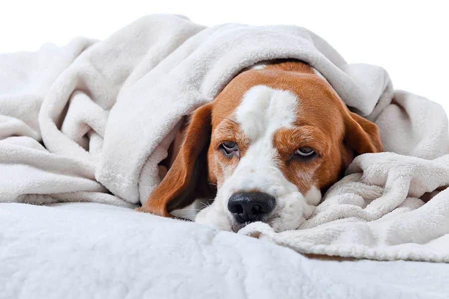 Ziekte van Cushing bij de hond